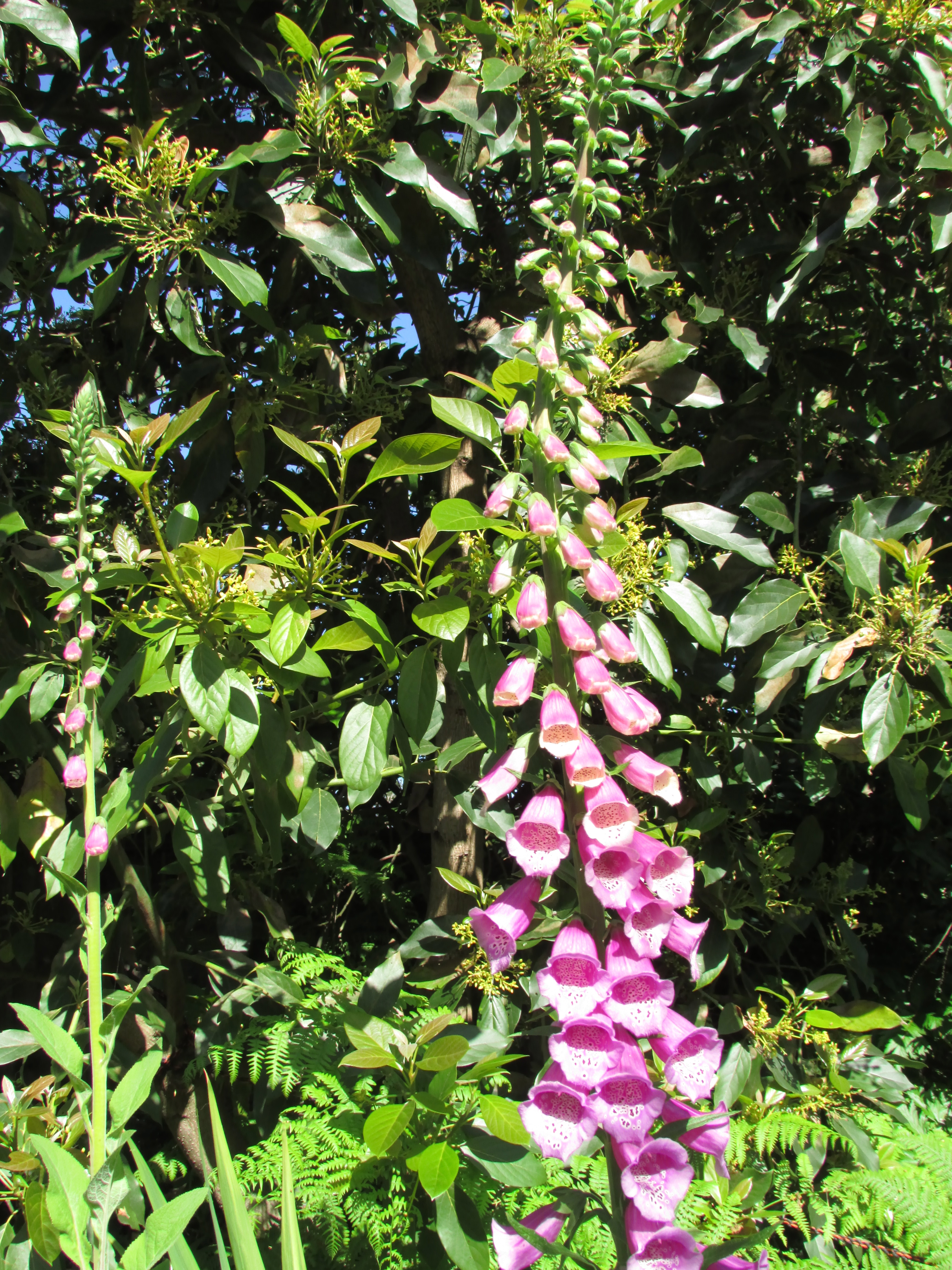 Add Medicinal Plants: Foxglove