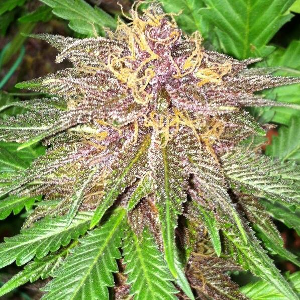 The Cannabis Female Flower