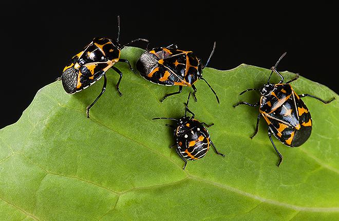 Harlequin bugs don't bug Harlequin cultivator